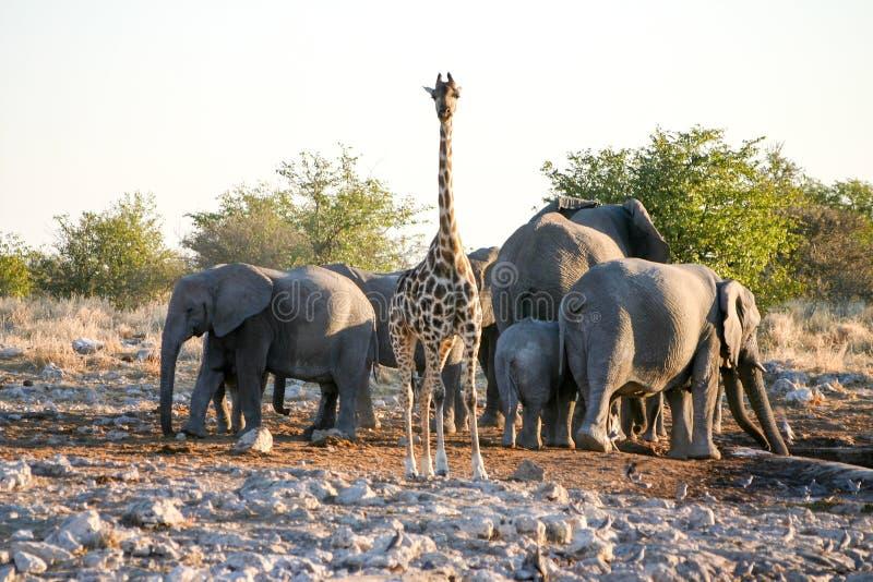 Girafa e elefantes imagens de stock