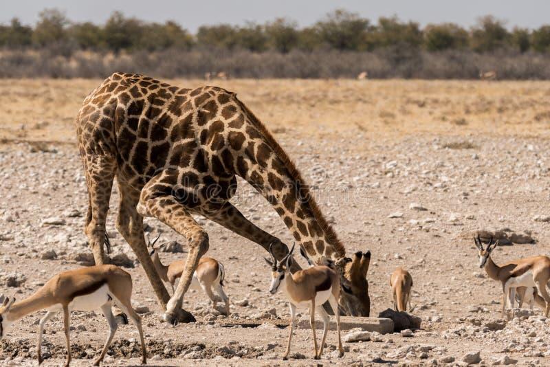 Girafa e gazelas no parque nacional de Etosha
