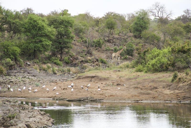 Girafa e pássaros no arbusto pela lagoa de água, parque nacional de Kruger, África do Sul foto de stock