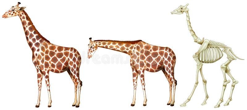 Girafa e sua estrutura do osso ilustração do vetor