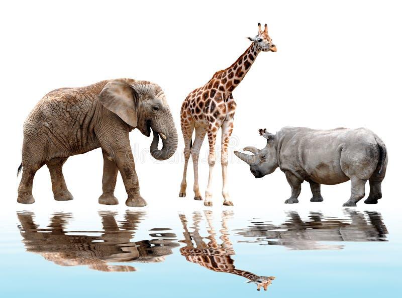 Girafa, elefante e rinoceronte imagem de stock