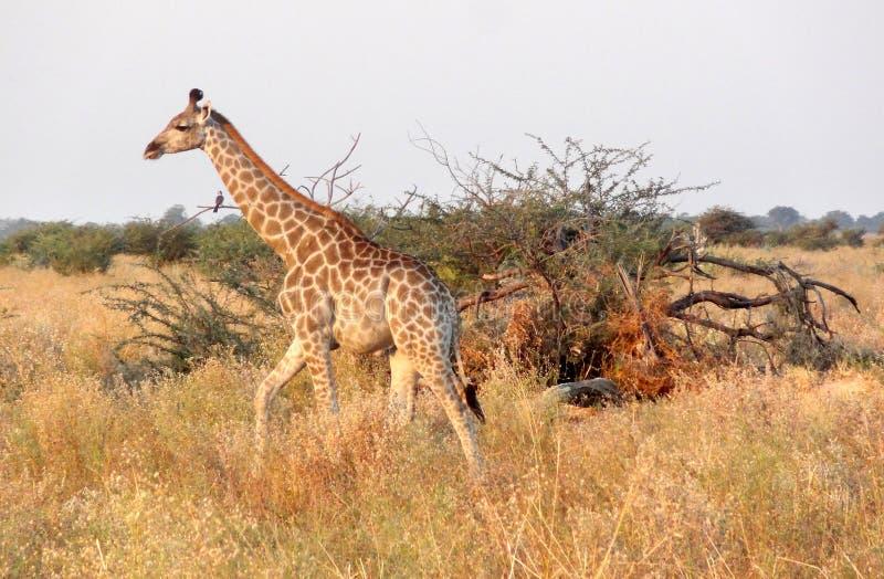 Girafa em Botswana foto de stock