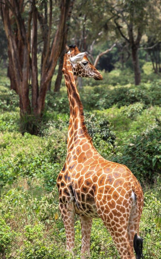 Girafa em Nairobi Kenya imagens de stock