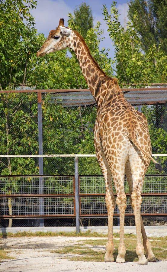Girafa, ereto fora da cerca fotos de stock