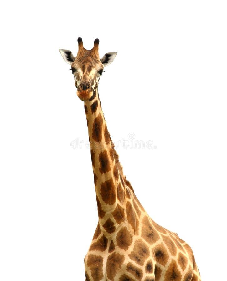 Girafa isolado que olha a câmera foto de stock