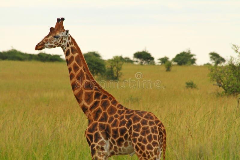Girafa masculino contra o savana verde foto de stock royalty free