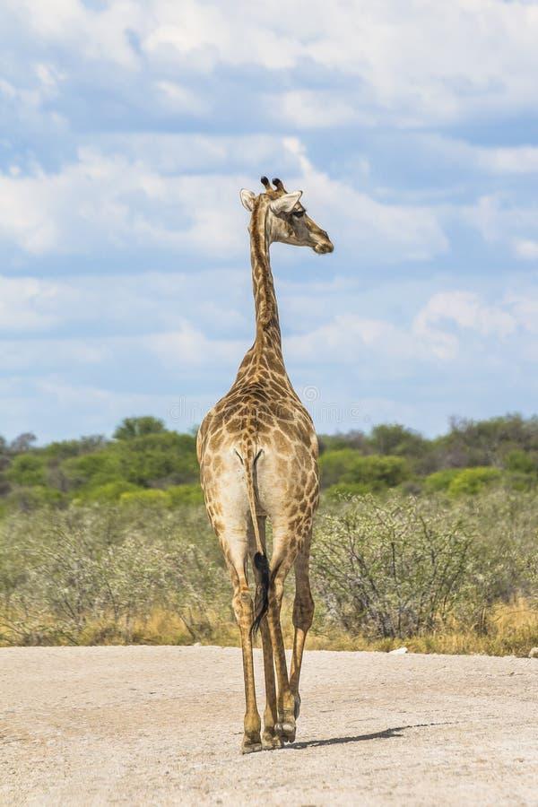 Girafa na estrada no parque de Etosha, Namíbia fotografia de stock