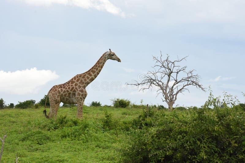 Girafa na meseta Botswana imagem de stock royalty free