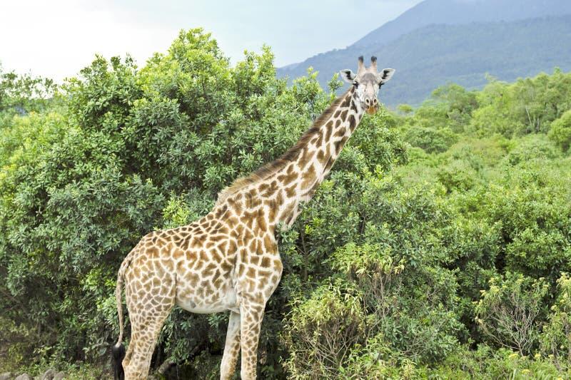 Girafa na paisagem bonita de Tanzânia imagem de stock