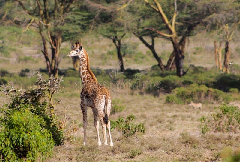 Girafa na reserva africana do jogo do safari imagens de stock royalty free