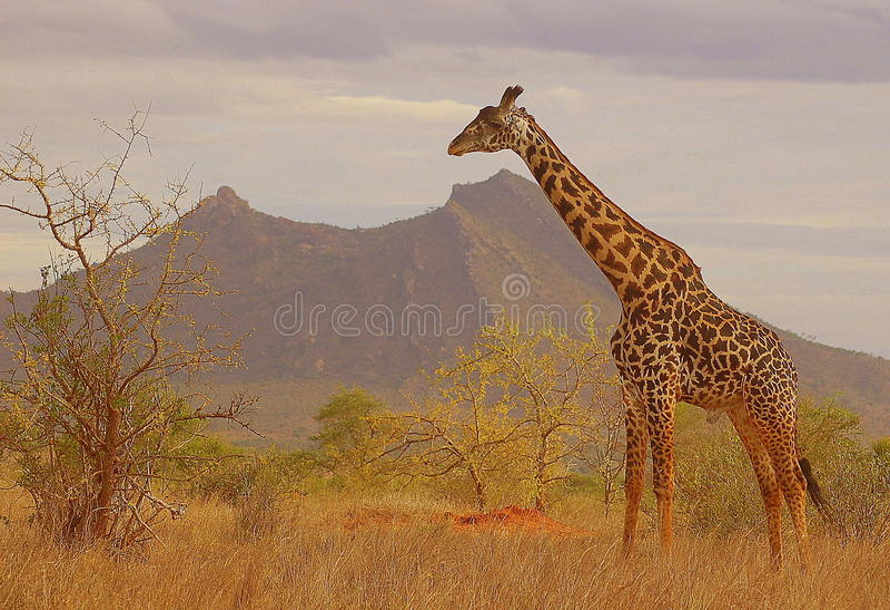Girafa no arbusto fotografia de stock royalty free