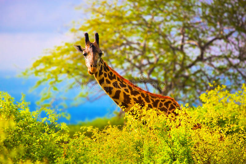 Girafa no arbusto. Safari em Tsavo ocidental, Kenya, África