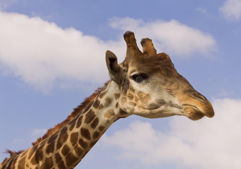 Girafa no fundo do céu azul fotos de stock