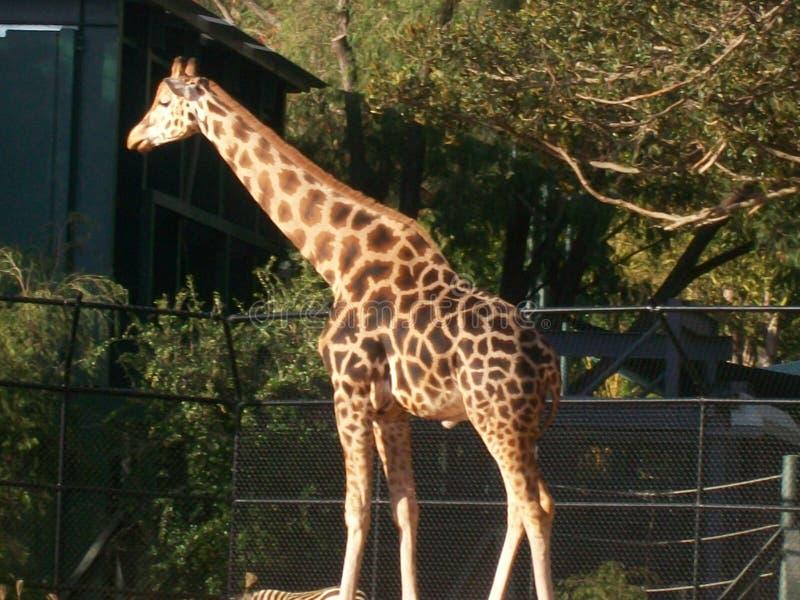 Girafa no jardim zoológico fotografia de stock royalty free