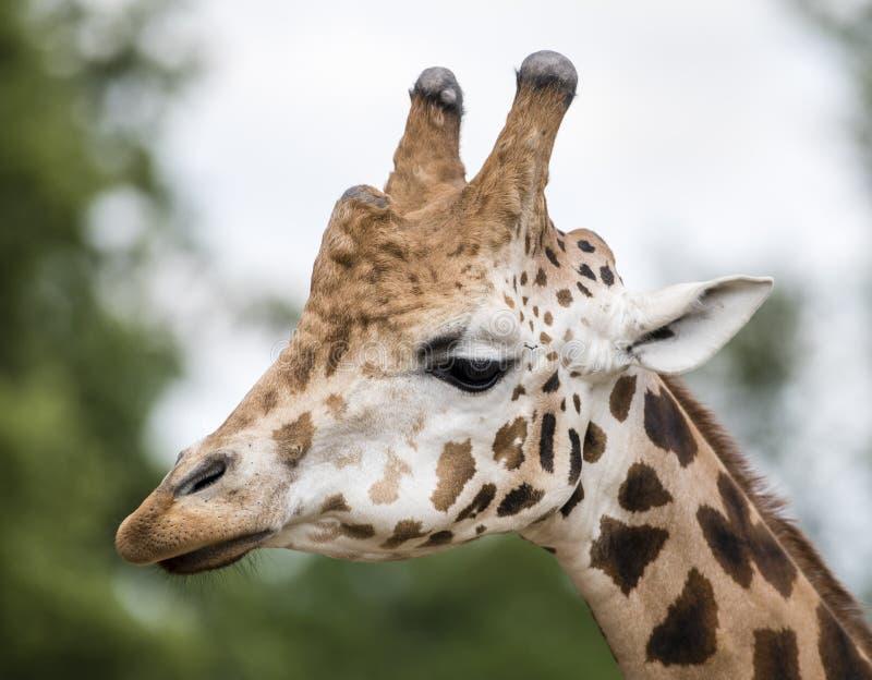 Girafa no JARDIM ZOOLÓGICO, Pilsen, República Checa fotografia de stock