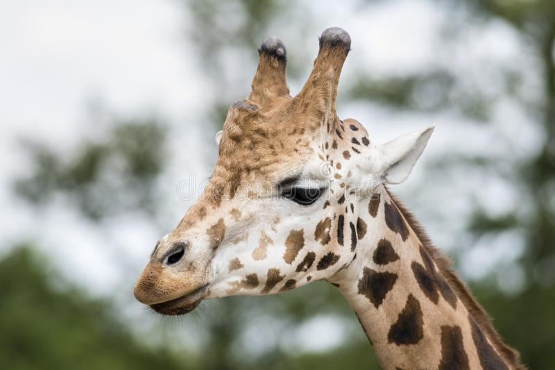 Girafa no JARDIM ZOOLÓGICO, Pilsen, República Checa imagens de stock royalty free