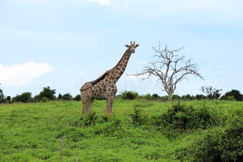 Girafa no montanhês com uma árvore fotos de stock royalty free