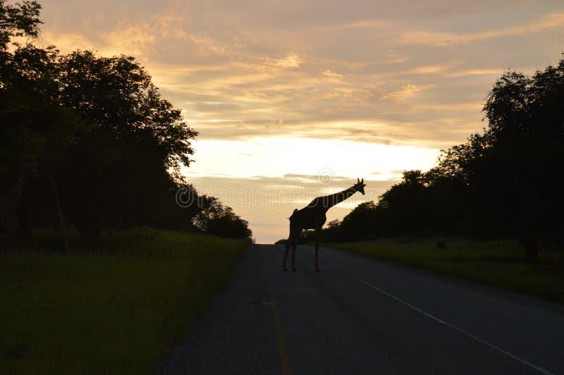 Girafa no nascer do sol imagens de stock royalty free