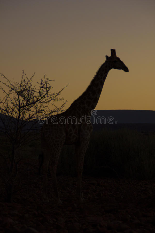 Girafa no nascer do sol, Namíbia fotos de stock