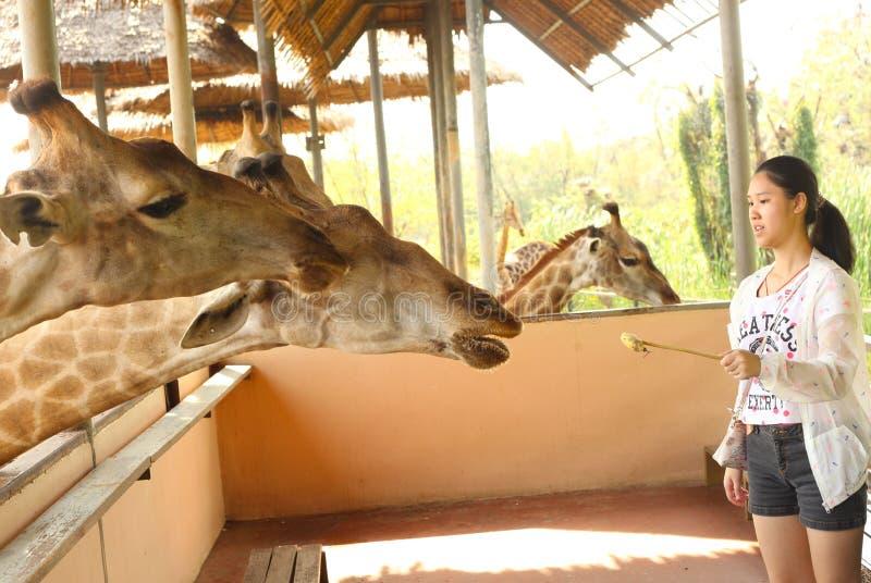 Girafa no parque exterior tailandês asiático do jardim zoológico foto de stock royalty free