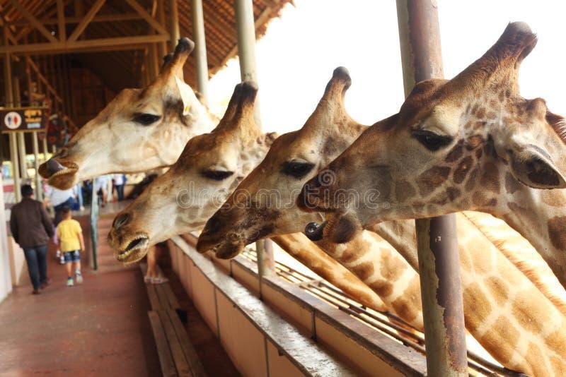 Girafa no parque exterior tailandês asiático do jardim zoológico fotografia de stock royalty free
