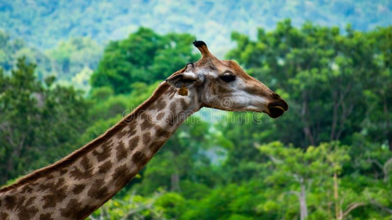 Girafa no parque local em Singha Park , Chiang rai, Tailândia fotos de stock royalty free