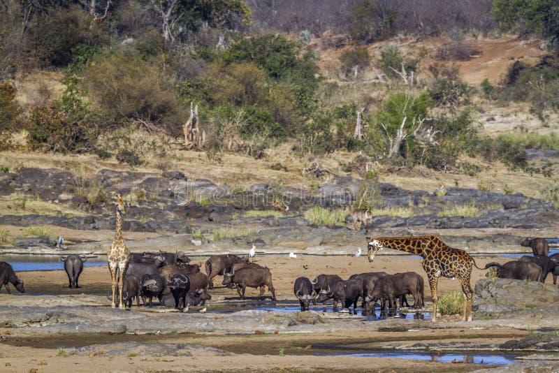 Girafa no parque nacional de Kruger, África do Sul imagens de stock