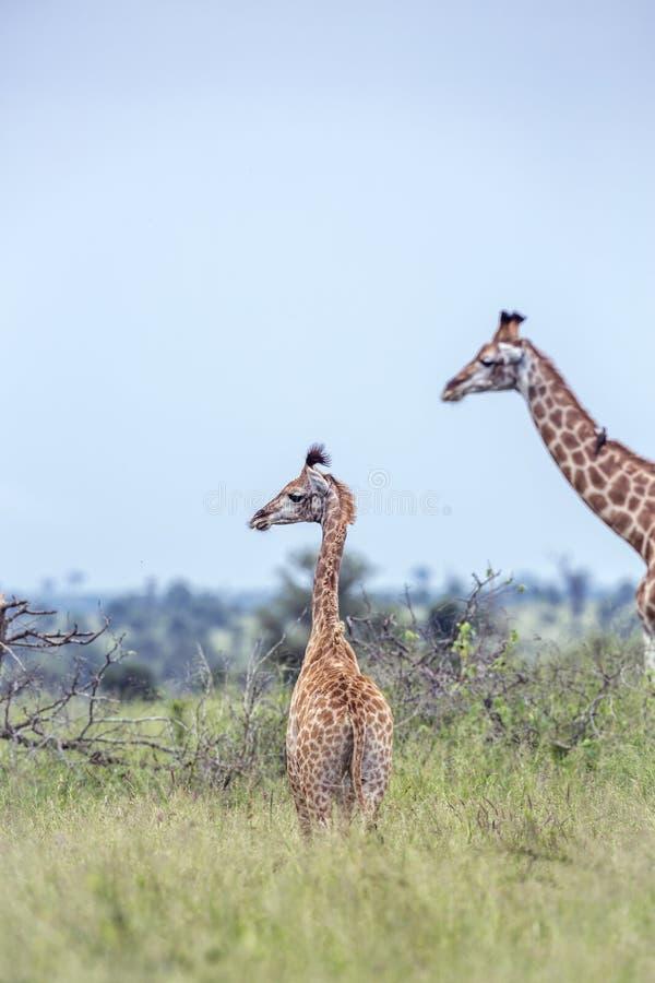 Girafa no parque nacional de Kruger, África do Sul fotos de stock royalty free