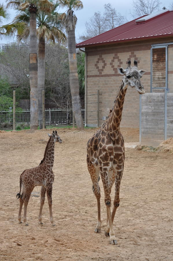 Girafa novo foto de stock
