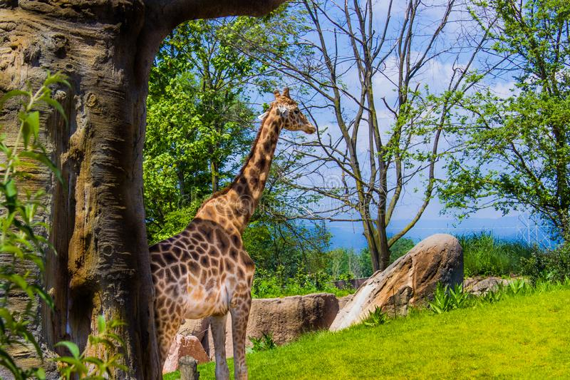 Girafa que anda apenas 05-15-2015 imagens de stock