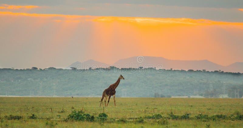 Girafa que anda em um vale com fundo do por do sol fotografia de stock
