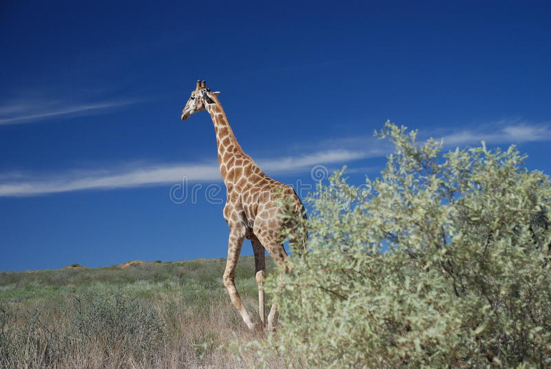 Girafa que anda no selvagem, parque internacional de Kgalagadi imagem de stock royalty free