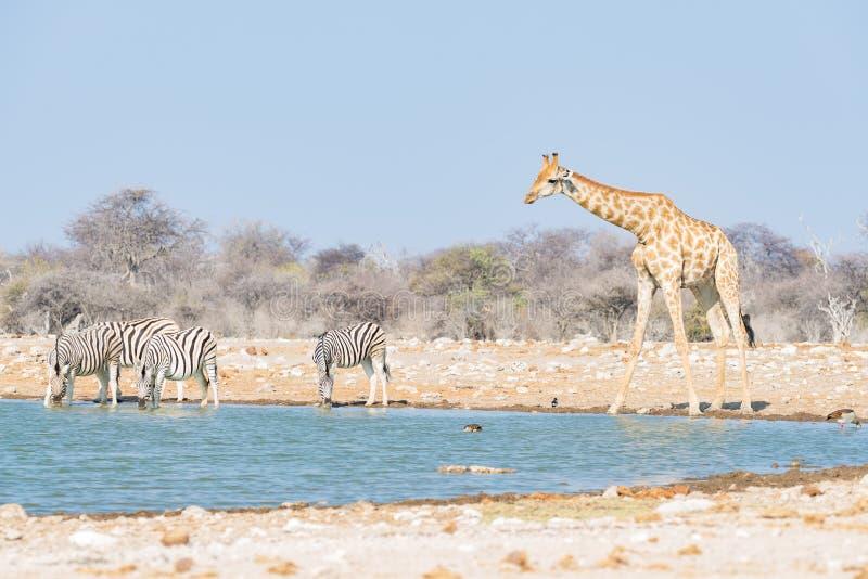 Girafa que bebe do waterhole Safari no parque nacional de Etosha, destino famoso dos animais selvagens do curso em Namíbia imagens de stock