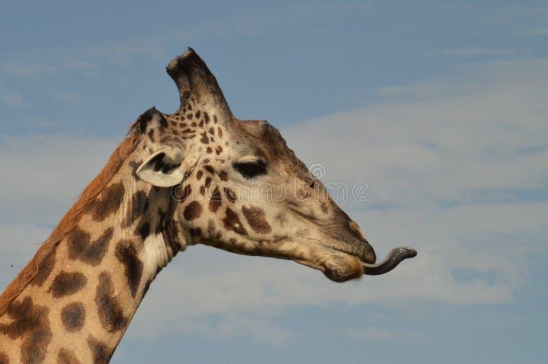 Girafa que cola para fora sua língua fotografia de stock royalty free