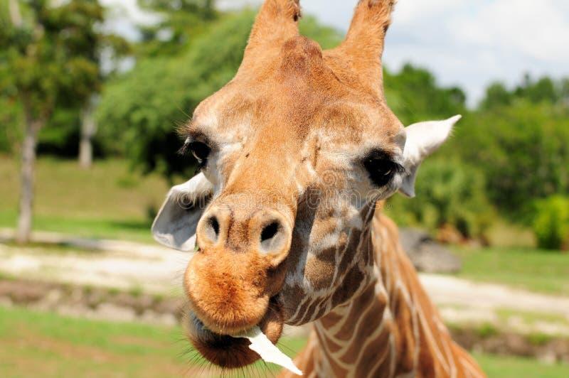 Girafa que come a alface imagens de stock royalty free