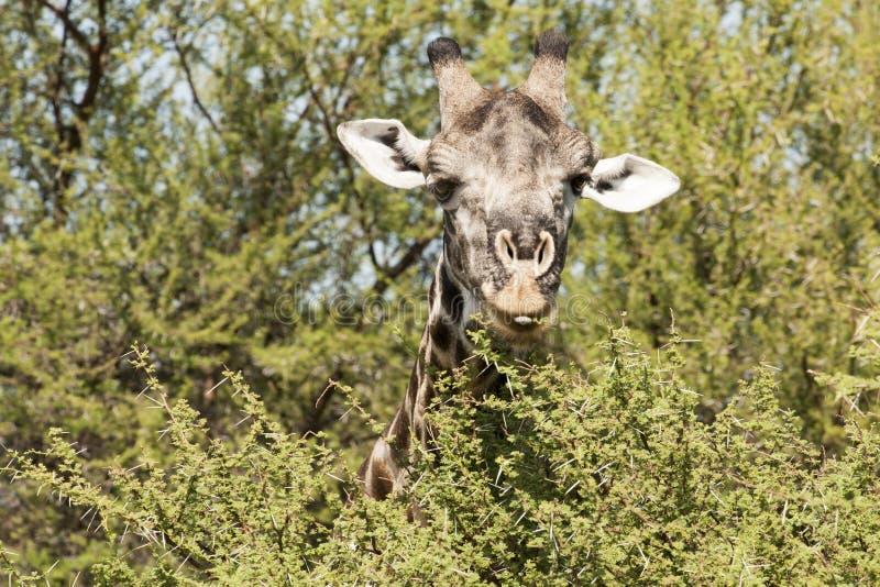 Girafa que come o arbusto espinhoso foto de stock royalty free