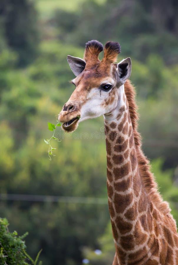 Girafa que consulta imagens de stock royalty free