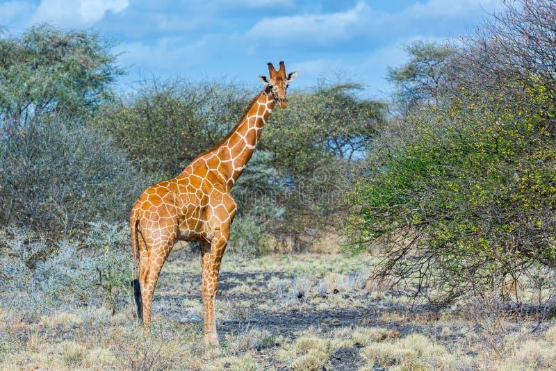 Girafa Reticulated ou somaliano, Meru NP, Kenya fotografia de stock