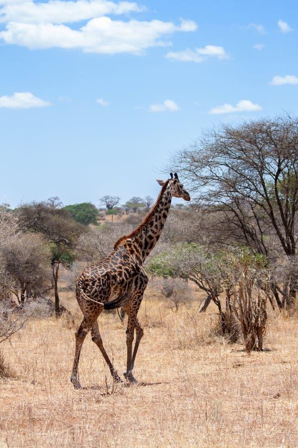 Girafa, Serengeti, Tanzânia fotos de stock