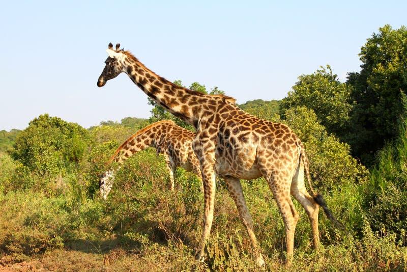 Girafas fotografia de stock