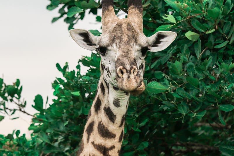 Girafas africanos selvagens no parque nacional de Mikumi, Tanzânia foto de stock royalty free