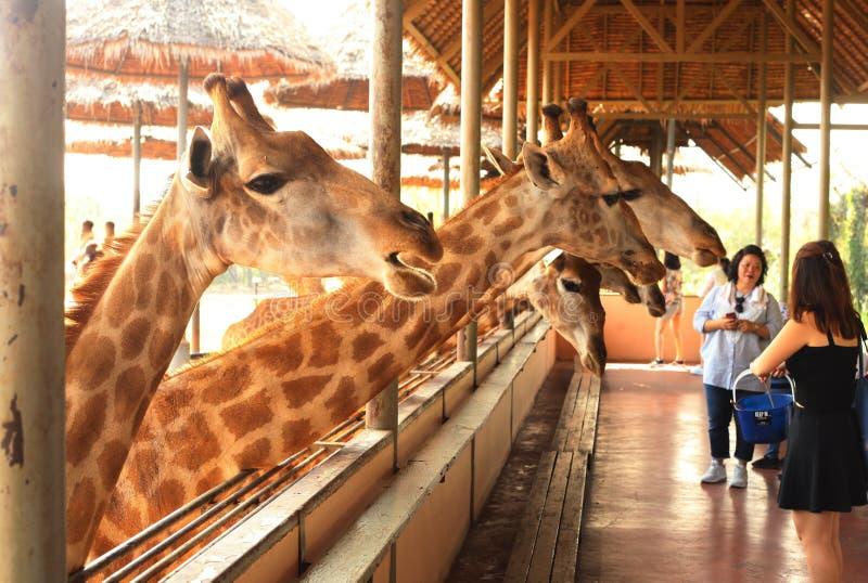 Girafas de alimentação no jardim zoológico tailandês imagens de stock
