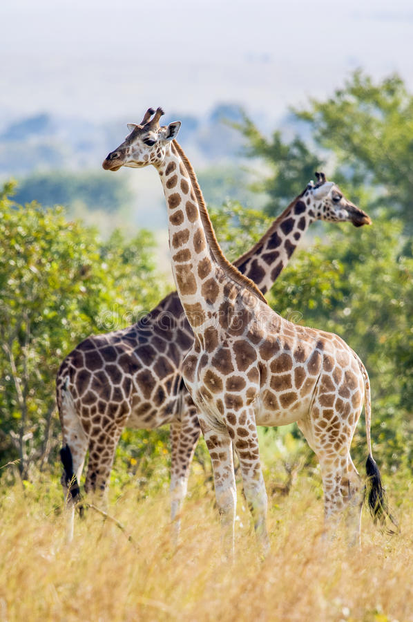 Girafas de Rothschild (camelopardalis do Giraffa) fotografia de stock