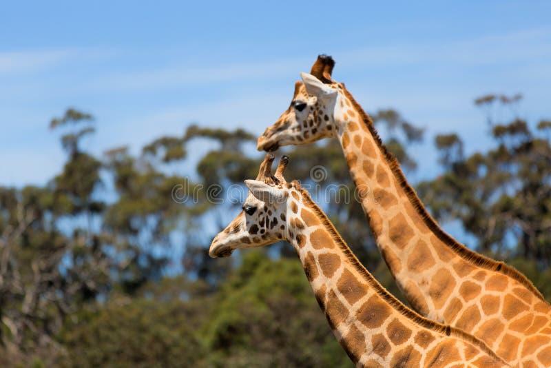 Girafas dois animais dos animais selvagens das afeições fotos de stock