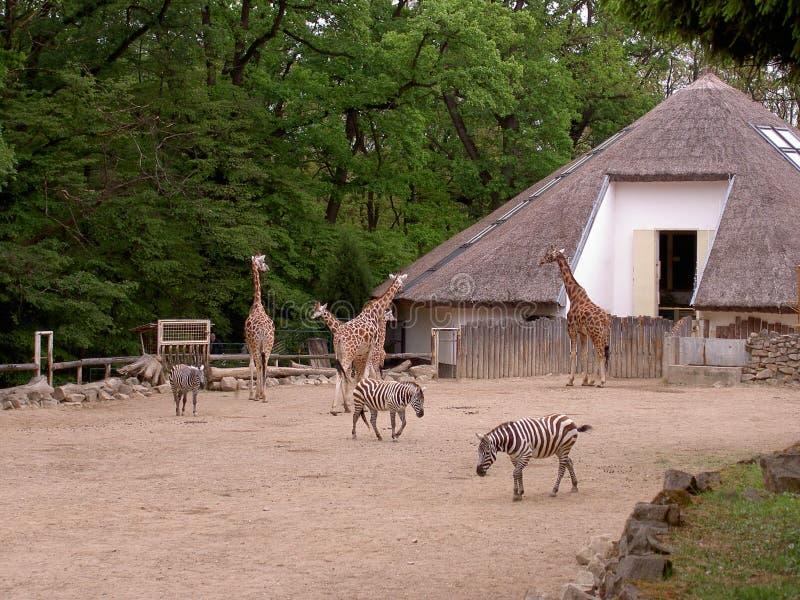 Girafas e zebras no cerco, jardim zoológico Lesna, Zlin, República Checa fotografia de stock