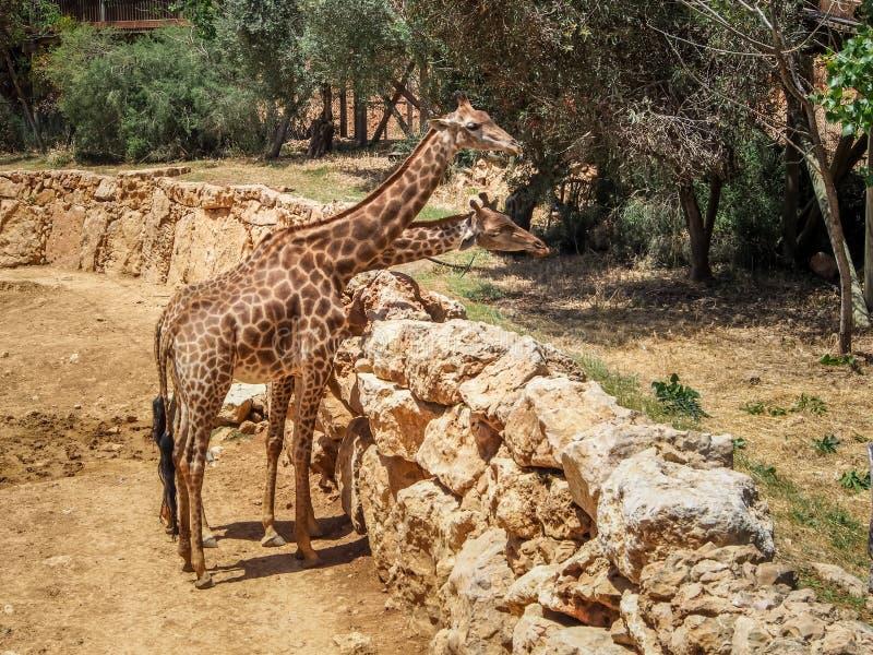 Girafas, jardim zoológico bíblico do Jerusalém em Israel fotografia de stock