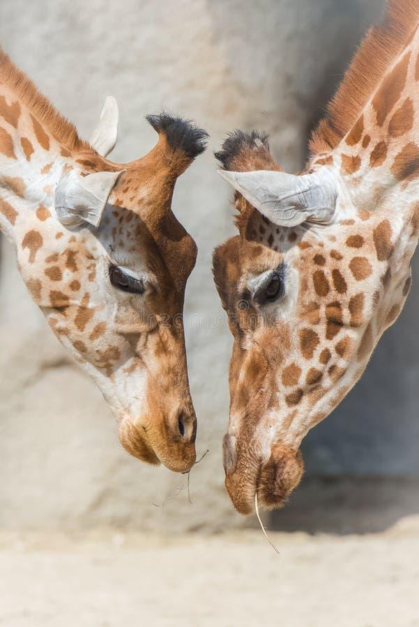 Girafas, mãe e bebê fotos de stock royalty free