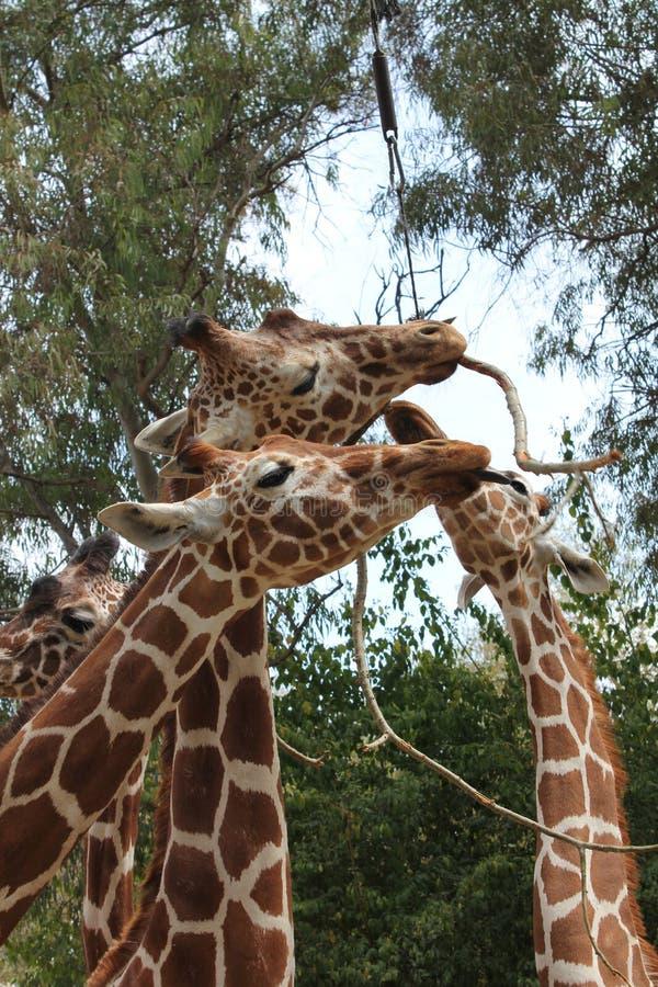 Girafas no jantar imagens de stock