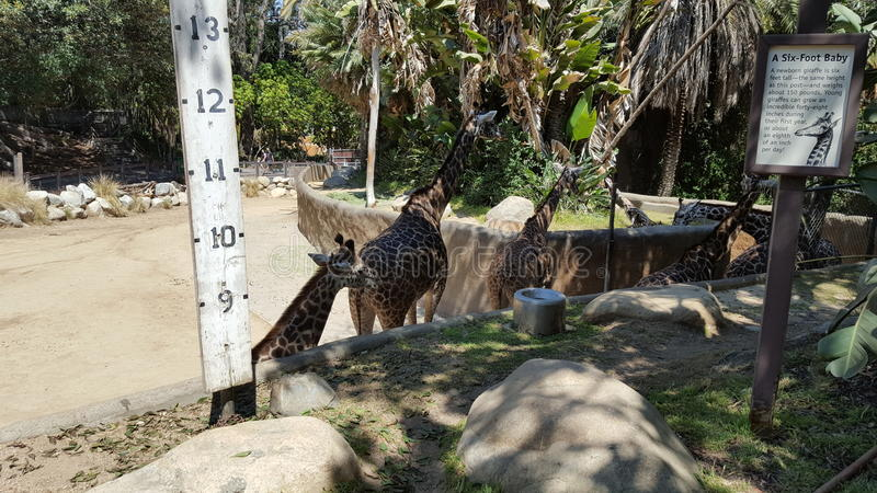 Girafas no jardim zoológico foto de stock
