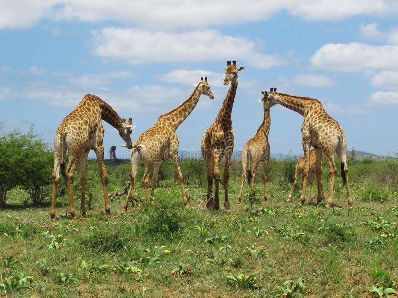 "Girafas no parque de Hluhluwe†""Imfolozi, África do Sul"